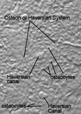 Osteon Or Haversian System